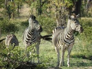 Auch Zebras können während einer Botswana-Safari bestaunt werden.