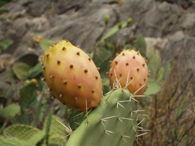 Häufig anzutreffen: Kaktusfeigen auf Sardinien © pixabay.com