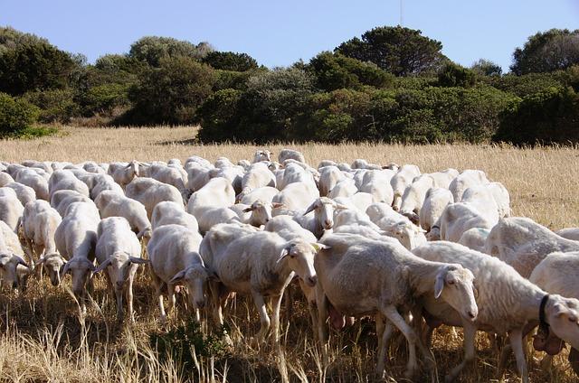 Oft anzutreffen: Schafherden auf Sardinien © pixabay.com