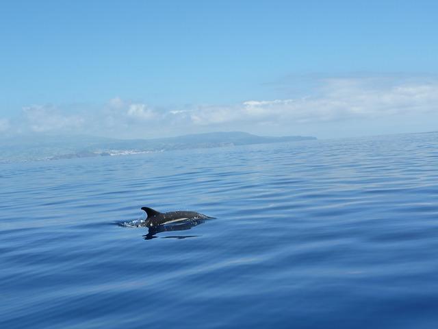 Delfine auf den Azoren beobachten